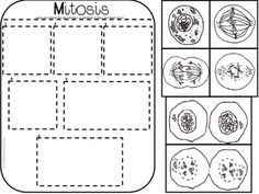 Image for The Cell Cycle Coloring Worksheet Key Mighty