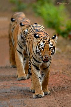 Tiger Train at Tadoba!! by Subramanya Chandrashekar