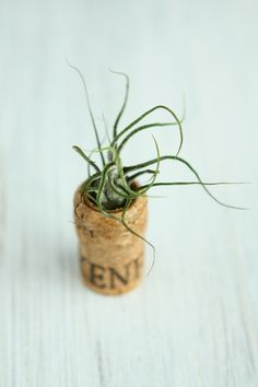 Air plant in wine cork