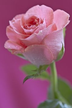 Just a pink rose