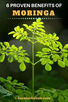 "While moringa continues to be fairly unknown in the West, it has established a track record in its country of origins for its unusually high dietary value. Undoubtedly, health researchers have begun to give it nicknames such as ""The Wonder Tree"" and also ""The Elixir of Long Life"" as a result of its remarkable healing capabilities.  Let's check out the health benefits of moringa and also see whether these names are justified."