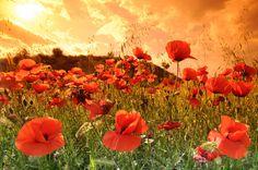poppy field, spain