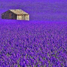 Purple field of Flowers ♡