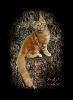 red tabby maine coon picture