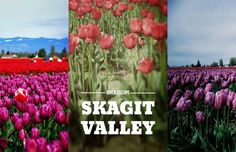 The tulips are peaking right now. Here's all the info you need to plan a day trip to see the colorful fields of blooms in the Skagit Valley this weekend! Places To See, Places To Travel, Fireworks Show, Hello Spring, Day Trip, Pacific Northwest, North West, Tulips, Fields