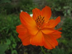 Orange Cosmos.  I first grew these as a little girl and I called them Sunset coreopsis.  They are easy to collect seeds and plant each year.  Butterflies love them. Cosmos Plant, Cosmos Flowers, Meadow Flowers, Fall Flowers, Wedding Flowers, Rock Garden Plants, Garden Types, Bog Garden, Cosmos Image