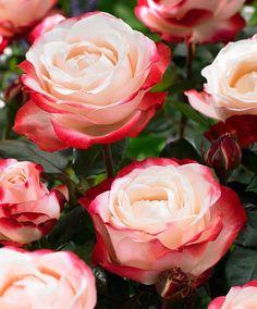 Velkokvětá růže 'Nostalgie'®