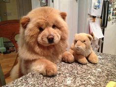 Chow Chow and friend size: medium exercise: medium grooming: high trainability: very easy