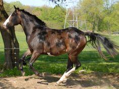 American Warmblood  horse breed