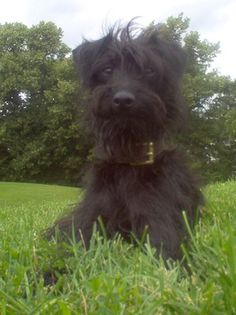Jippi the Pootalian (Italian Greyhound / Poodle mix) at 16 months old ...