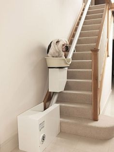 An overweight bull dog takes a ride on the The Stair Of The Dog 2022 prototype Stair lifts have long been associated with modes of mobility for those with problems walking up the stairs,but that is soon about to change for a whole new community: DOGS. Canine Mobility Developed for overweight dogs who have mobility …