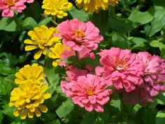 Zinnias can be grown from seed, either sown directly into the garden or started indoors four to six weeks before the last frost.    Read more: The Best Oklahoma Flowers & Plants | eHow.com http://www.ehow.com/list_6647918_oklahoma-flowers-plants.html#ixzz1kG6bHKvl