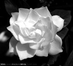 White Gardenia in Bloom.