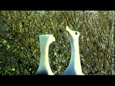 Facts on Galapagos Waved Albatross - Largest Sea Birds with Quasar