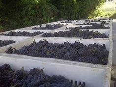 Harvest 2013 - Saronsberg Cellar, Tulbagh
