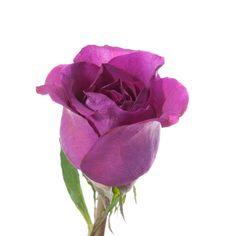 Mammy Blue Purple Rose