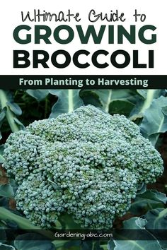 Growing broccoli at home is not very difficult even if you are a beginner. This article, discusses how to grow broccoli at home. Follow the tips discussed in this article and I am sure you will not be disappointed. #growingbroccoli #broccoliplanting #broccoliplant
