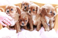 Ruby Cavalier puppies