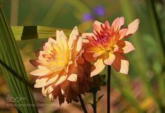 Parfait Dahlias by kimeee. Please Like http://fb.me/go4photos and Follow @go4fotos Thank You. :-)