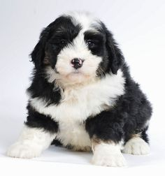 Dog god s reflection bernedoodle puppies cuteness personified stunning