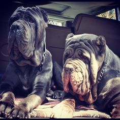 Two of our big love bugs! Our lap dogs! Neapolitan mastiff wrinkles road trip Bijoux (right) & Mojo (left)