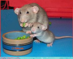 Mommy and me like peas. I know lots of people don't like rats but ooooh, so cute :D