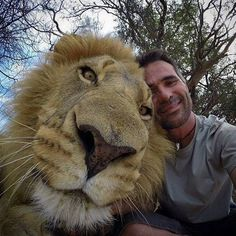This is what a Lion Selfie looks like. It is one of the best selfies ever.