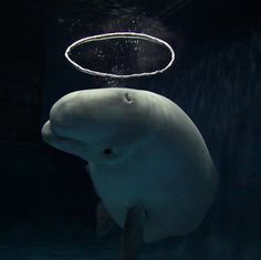"A beluga with a halo bubble: A Beluga whale has become a sensation at an aquarium after learning how to blow halo-shaped bubbles. The extraordinary sight was captured on camera by photographer Hiroya Minakuchi at the Shimane aquarium in Japan. He said: ""This beluga started making bubble rings when she was seven. And a couple of years ago she developed her technique. Now she blows the water from her mouth to make a current, which is not visible for us underwater. She then blows air from her b..."