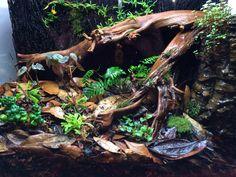 My Santa Isabel dart frog vivarium with water feature