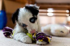 Mini Aussie Zoe | Photo by Frank Grace  #australian #shepherd #puppy