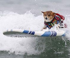 Cute alert! Here's a surfing corgi!