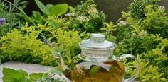 19 Best Tea Herbs to Make a Tea Herb Garden