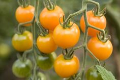 Super Sweet SunSugar Tomato 4 Live Plants - Very Flavorful!