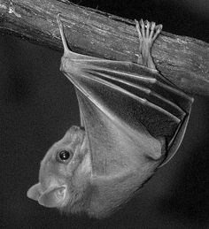 Egyptian fruit Bat Just hanging ! by SQUIRREL400 -   photographingsquirrels.com, via Flickr