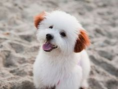 Bichon Frise - pretty white pup with red ears! Love My Dog, Baby Dogs, Pet Dogs, Dog Cat, Doggies, Cute Puppies, Dogs And Puppies, Baby Animals, Cute Animals