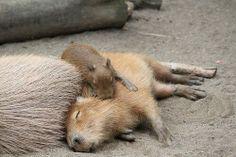 Sleepybaras!