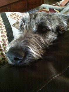 Love this face .. Goji, Irish Wolfhound 8 mos