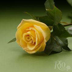 Rio Roses - Skyline