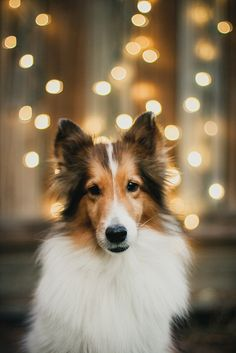 Beautiful Sheltie. ❤️ looks like our Barkley. Miss him
