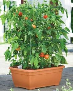 Great way to grow cherry tomatoes