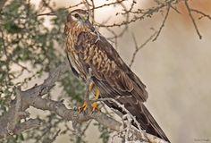 Montagu's Harrier (Circus pygargus) In a tree