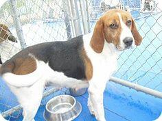 New Kent, VA - Treeing Walker Coonhound Mix. Meet Mavis a Dog for Adoption.