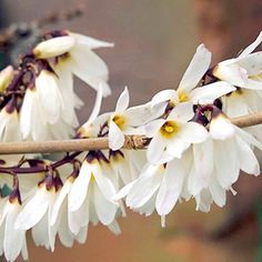 White Forsythia Plant with almond scented flowers. Flowers in February. height: 1-2m