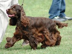 beautiful chocolate brown Cocker Spaniel