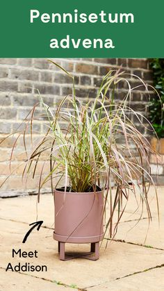 Addison is a spectacular Fountain Grass. Young leaves are striped with red, pink and green, deepening to a rich maroon as they mature. He's pretty low-maintenance, but doesn't like severe cold, so should be moved somewhere warmer or protected from frost in winter. #outdoorplant #gardenplant #gardenpot #plant {Pennisetum advena}