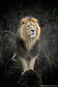 ~~The King | Asiatic Lion | by Gary Brookshaw~~