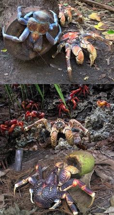 10 Ginormous Facts About Coconut Crabs(VIDEO) #ginormous #facts #coconut #crabs #sea #world Coconut Crab, Funny Animals, Cute Animals, Cool Insects, Sea Cow, Christmas Island, Sea World, Ocean Life, Marine Life
