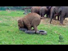 Cute Baby Elephant Video, Elephant Gif, Elephant Nature Park, Elephant Love, Elephant Bath, All About Elephants, Elephants Playing, Baby Elephants, Giraffes