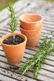 Maak steggies van jou roosmaryn plantjie in jou tuin. (Dit kan later oulike geskenke wees vir vriende en vriendinne. Roosmaryn is mos ie...