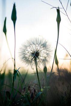 dandelion by Evghenii kizer on 500px